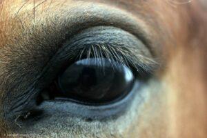 oko konia1
